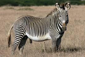 leeuw die een zebra vangt